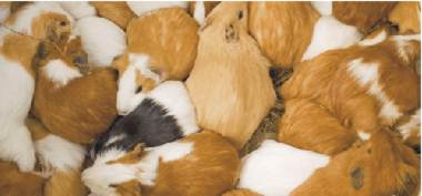 300 Guinea Pigs. No, 312 Guinea Pigs. Hang on, 386...